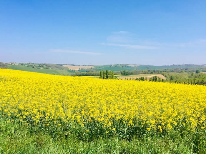A beaitiful picture showing views over yellow fields in the sunny French countryside
